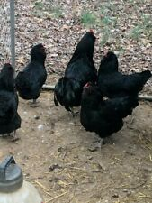12 True Black Ameraucana Fertile Hatching Eggs Breeder quality! Blue egg