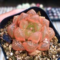 Succulent Live Plant - Red Haworthia Cooperi Baker 4cm -Home Garden Lovely Plant