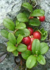 10 Mountain Crowberry Seeds TASTY BERRIES