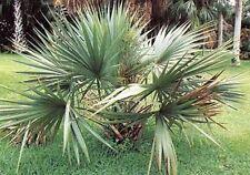 Garten Samen Rarität Exot frosthart Baum Palme SABAL-MINOR