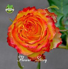50 Orange Rose Seeds Fragrant Flower Seeds for Home Garden Planting Bonsai Tree