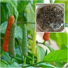 Piper retrofractum 100 Seeds Piper longum Long Pepper Herb Heirloom Seeds Thai