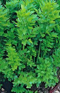 Herb Lovage Levisticum Officinalis - 100 seeds
