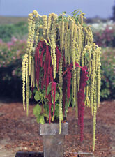 Flower seed - Amaranthus Ribbons & Beads