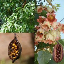 KURRAJONG BOTTLE TREE (Brachychiton populneus) SEEDS 'Bush Tucker Food'