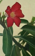 Large Adenium Obesum Desert Rose Flowering Bonsai Plant Bare Root
