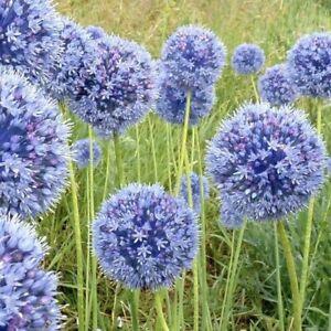 20 Allium 'Caeruleum' Azureum Blue spring flowering bulbs Perennial Plant