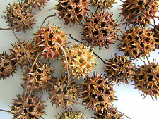 """Gum Tree Round 25 Seed Pods 1"""" x 1"""" for Crafts, Wreaths, Decor & Ornaments"""