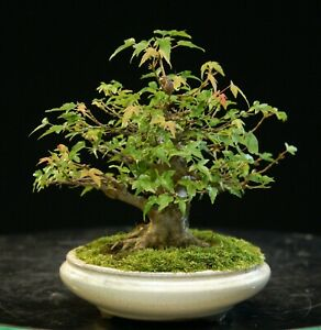 Trident Maple Imported Bonsai Tree TMST-626
