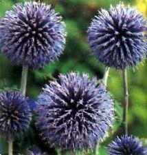Echinops ritro / Globe Thistle / Hardy Perennial / 30 Seeds