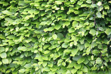 Green Beech bare root Hedging Plants x 300 supplied at H:30-50CM. FREE DELIVERY
