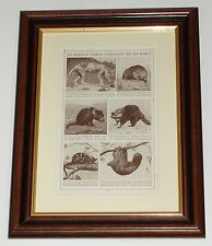 Circa 80 years old Tasmanian Wolf Devil Bandicoot Dasyure available unframed