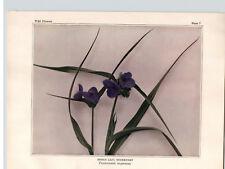 1934 Wildflower Book Plate Spider Lily;Spiderwort & Pickerel Weed