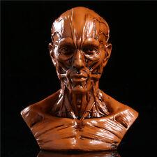 "New 4"" Human Model Anatomy Skull Head Muscle Bone Medical Artist School Teaching"