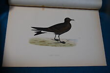 Leach's Petrel 19th Century Color Plate From Morris History of British Birds