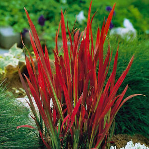 Japanese Blood Grass-Imperata cylindrica Red Baron  Plant in 9 cm Pot
