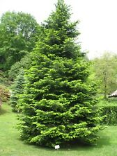Abies grandis / Grand Fir, stately Christmas tree grown peat free in 3L pot, 4ft