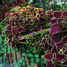 50Pcs Mix Colors Blumei Seeds Home Garden Colorful Flower Leaves Plant Decor
