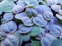 Red Root Floater, 10 Floating Freshwater Plants, BUY 2 GET FREE BONUS PLANT!