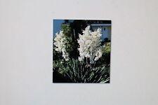 5 SEMI Yucca filamentosa, multi-thread Yucca, resistenti ALF Reddo , #102