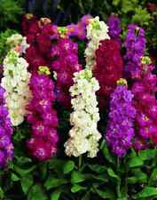 Stock Cinderella Mix Seeds Bright Colours Annual Easily Grown Big Display