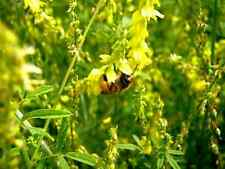 Yellow Blossom Clover Seeds - 50gms