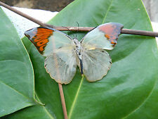NW Real Great Orange Tip Butterfly Brooch pin very Rare and Stunning! See True