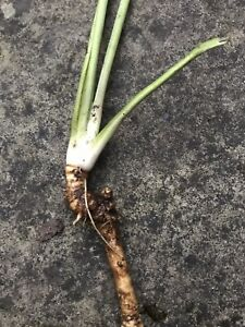 Horseradish LARGE root Crown thong for planting Hardy Plant Easy to Grow ORGANIC