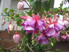 Double Pink and Pale Purple Fuchsia seeds x 50 fresh ready to grow seeds