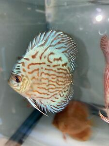 Discus- 3.5 Inches