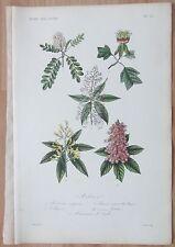 A: Dupuis: La Regne Vegetal, Clammy locust, Robinia viscosa - 1864