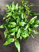 Vietnam Koriander Pflanze,   POLYGONUM ODORATUM  Kräuter Pflanze 3stk.