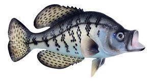 Fishermans Dream Black Crappie Fresh Water Fish 14 Inch Resin Wall Decor Plaque