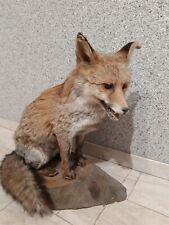 Taxidermie renard naturalisé sur socle bois