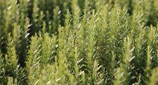 30 graines de Romarin officinal - méthode BIO - Rosmarinus officinalis seeds