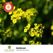 60 Samen Felsensteinkraut Gelb *vollkommen winterhart* Steinkraut