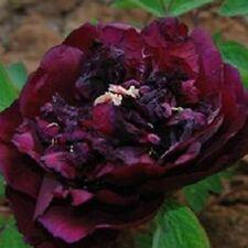 Black Poppy Red Flower China's Peony Seeds Paeonia suffruticosa Tree DIY Garden