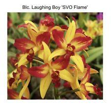 Lc Trick Or Treat 'Orange Beauty' X Blc Laughing Boy 'Svo' 4� (15) 6331