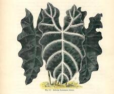 Stampa antica FIORI ALOCASIA SANDERIANA NOBILIS botanica 1896 Old Antique print