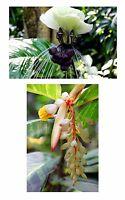 Exotische Zimmerpflanzen: die Fledermausblume und der Dwarf-Alpinia.