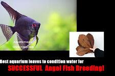 20 Catappa Leaf- for breeding Live freshwater altum angel fish aquarium tropical