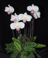 MOS. Orchid Species Paphiopedilum delenatii (small seedling, rare)