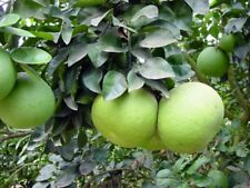 RARE Dwarf 'Hirado Buntan' Green Pomelo Fruit Seeds Citrus Grandi 10 seeds