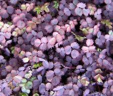 NEW ZEALAND BURR Acaena Inermis Purpurea - 50 Bulk Seeds