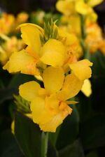 70 Canna Cannova Yellow Live Plants Plugs Garden Home Patio Diy Planters D10002