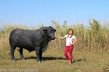 Black Bull Statue - Steer Statue - Angus Bull Life Size Statue Black 8 Ft Long