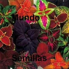 COLEO coleus ARCO IRIS Variado  120 semillas seeds graines semi