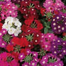 50 Verbena Seeds Quartz XP Mix Verbena Seed