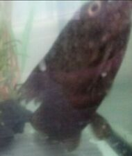 Catfish Rescue: 7in Tropical Feather Fin Catfish needs a good home. Monster.