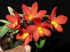 Do- Sl. Tiny Star, Sl. Pole-Star x Sophronitis cernua, mini Cattleya Orchid